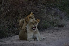 Come out, come out wherever you are...our final game drive