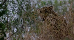 Spot the Leopard...game drives from Leadwood Lodge...