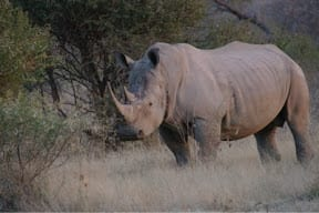 Rhino poaching brought home...