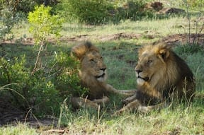 Game drives in Madikwe game reserve